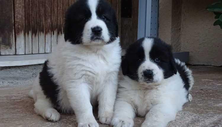 ecc9d7b05b30 Αυτές είναι οι 6 ελληνικές ράτσες σκύλων άγνωστες στο ευρύ κοινό -  tromaktiko