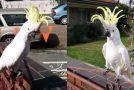 Παπαγάλος τραγουδάει το «Σαν πας στην Καλαμάτα» και χορεύει με μοναδικό τρόπο
